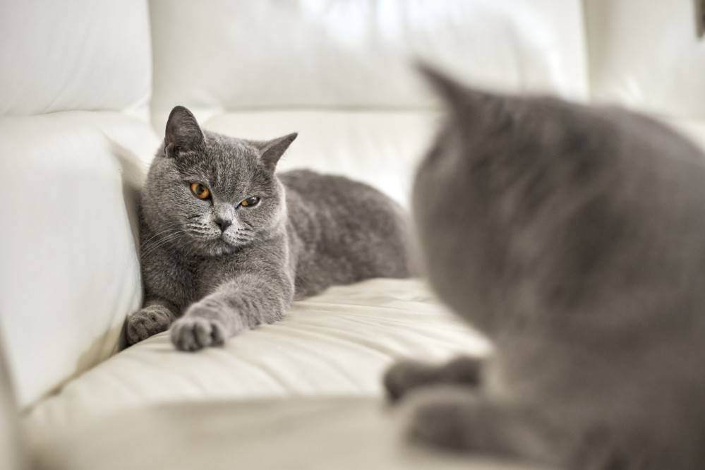 Британец линяет круглый год. почему британская кошка сильно линяет