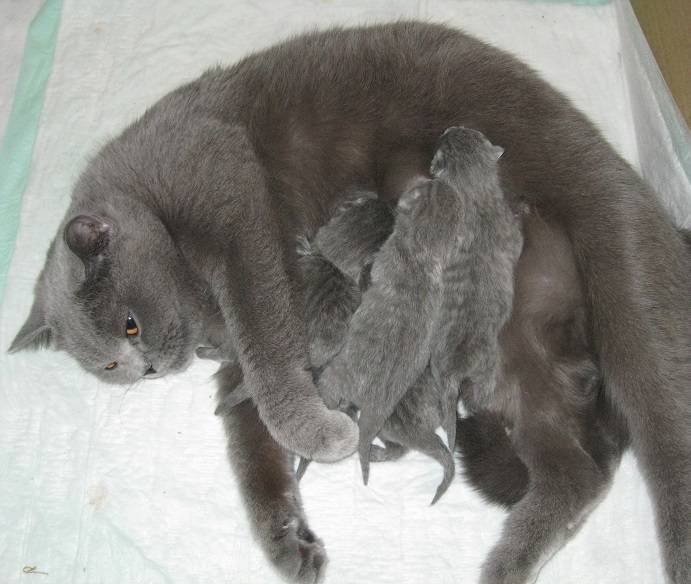Сколько котят рожает кошка в первый раз | первые роды