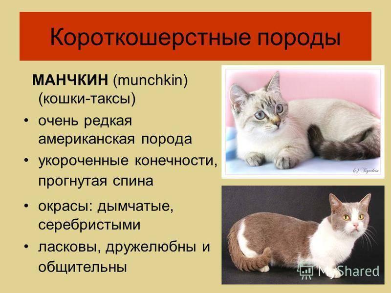Анатолийская кошка: история породы, внешние особенности, характер, советы по уходу и содержанию