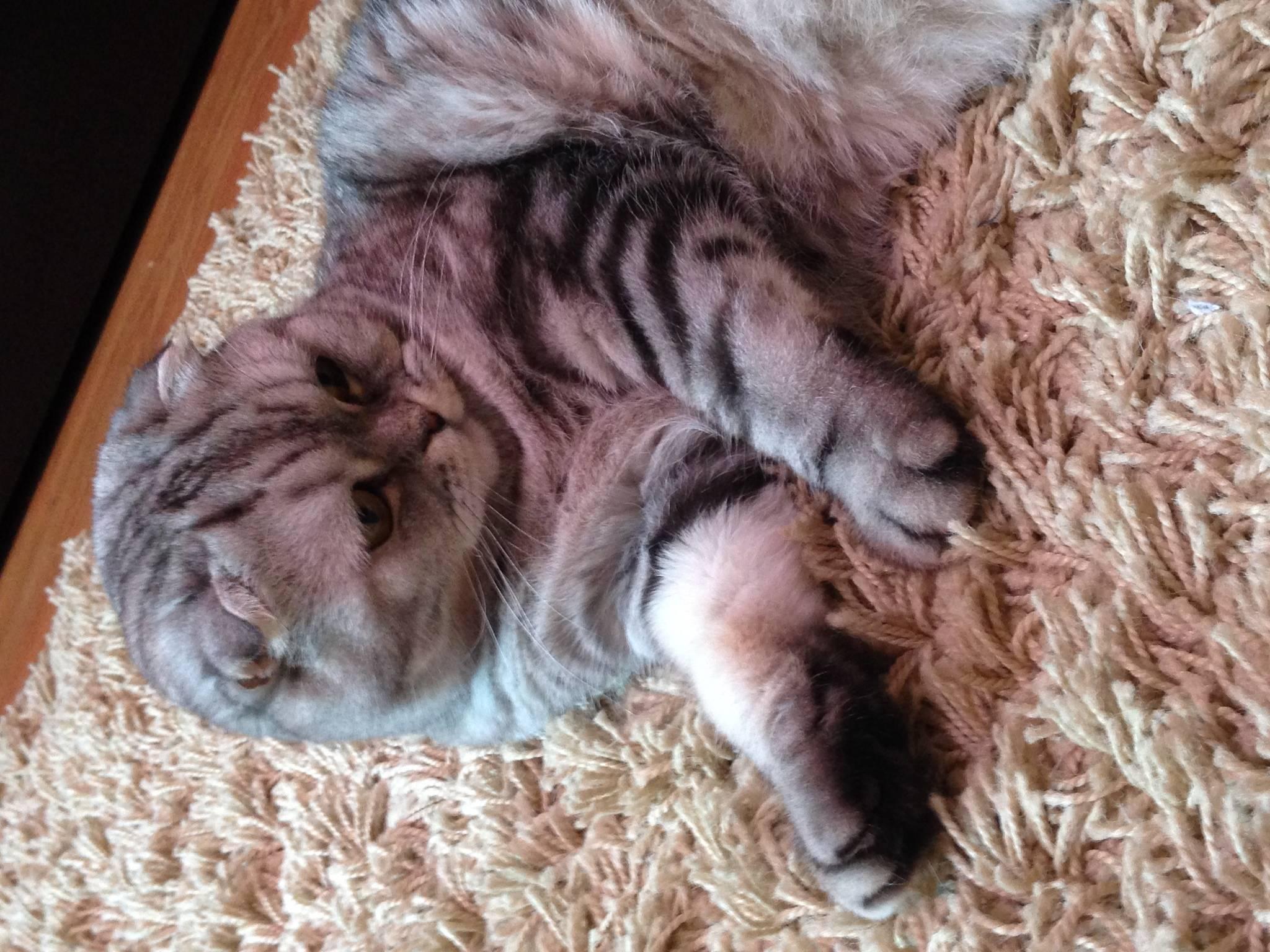 Шотландская вислоухая кошка (скоттиш фолд): описание породы, характер, достоинства и недостатки, уход