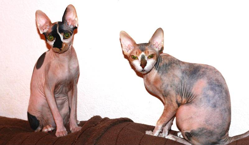 Кошка эльф: описание породы, характер, советы по содержанию и уходу, фото