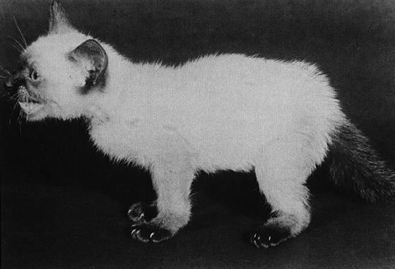Гиперпаратиреоз у кошек и котят: причины, классификация, симптомы и методы лечения
