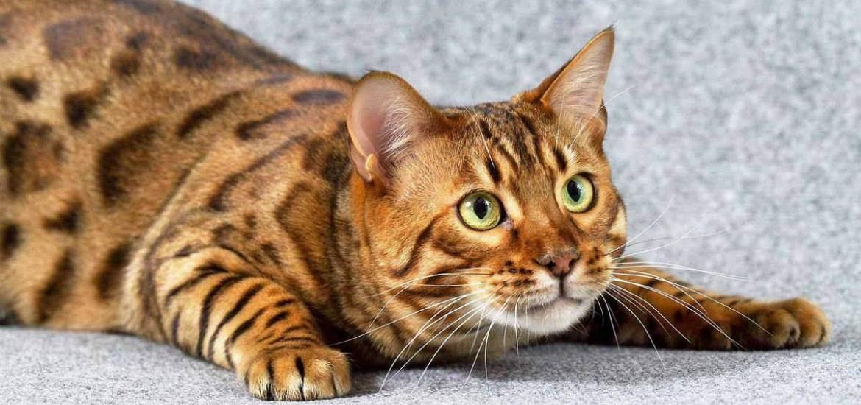 Может ли быть аллергия на британских кошек