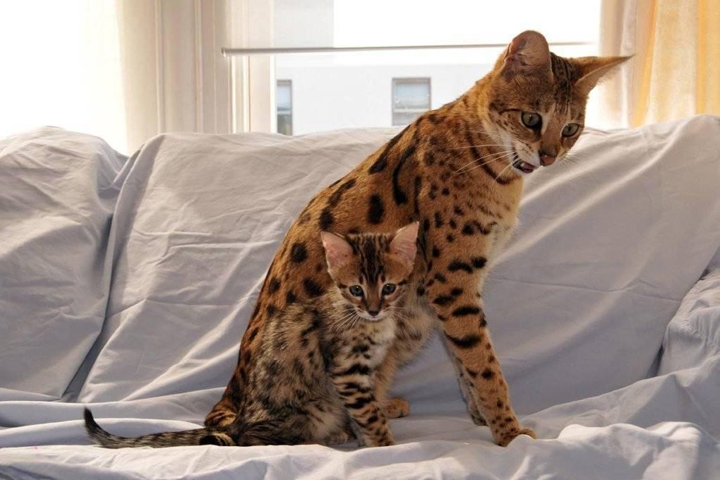 Самый большой кот в мире: фото, порода - 24сми