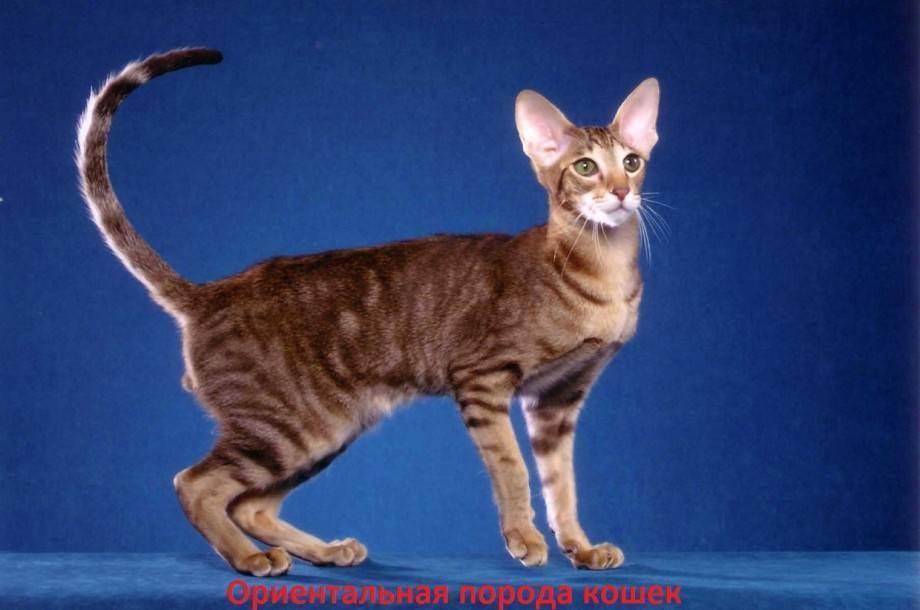 Лечение кошками (фелинотерапия). какая порода, какие болезни лечит