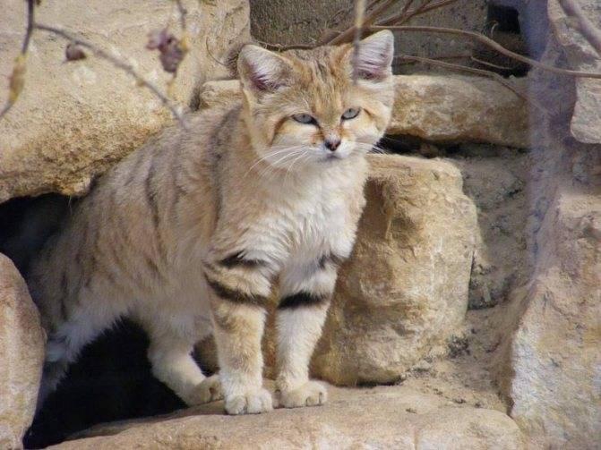 Барханный кот. образ жизни и среда обитания барханного кота