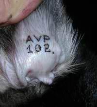 Что такое чипирование, сколько стоит чипировать кошку, как поставить чип котенку?