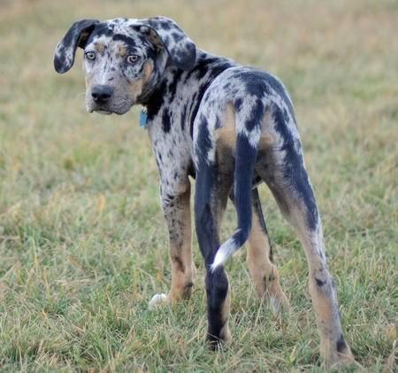 Бордоский дог: описание породы французской собаки, сколько живет, особенности, фото щенков