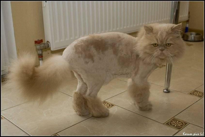 Стрижка британских котов: особенности и правила проведения процедуры