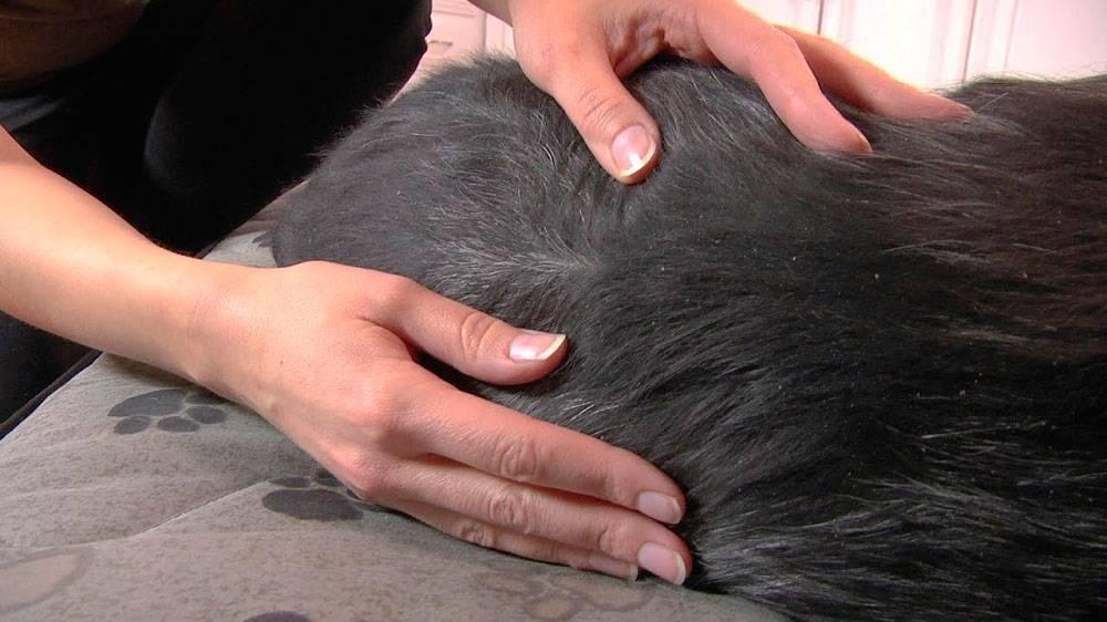 Перхоть у кошек и котов: причины, лечение и профилактика
