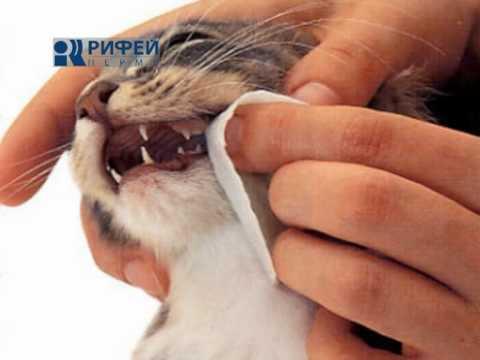 Чистка зубов кошки – советы и рекомендации