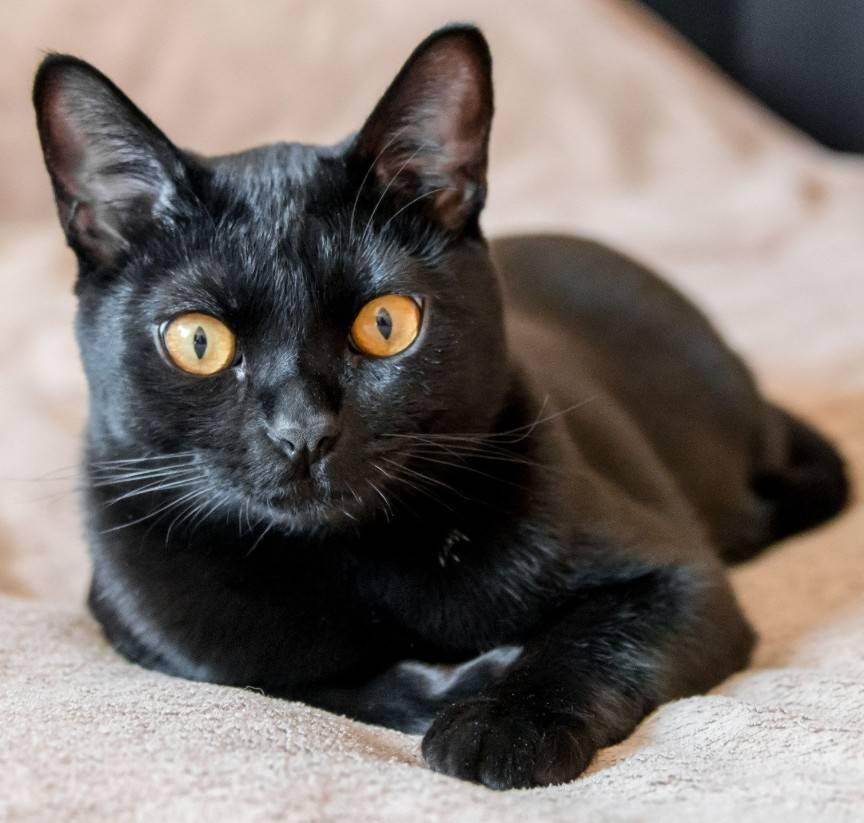 Описание бомбейской породы кошек с фото, правила ухода и содержания