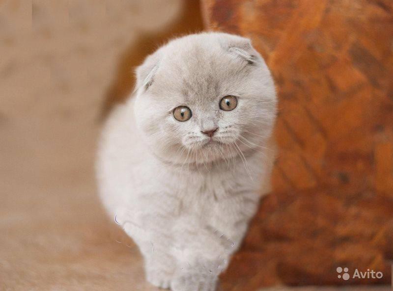 ᐉ имена для шотландских и британских котят - ➡ motildazoo.ru