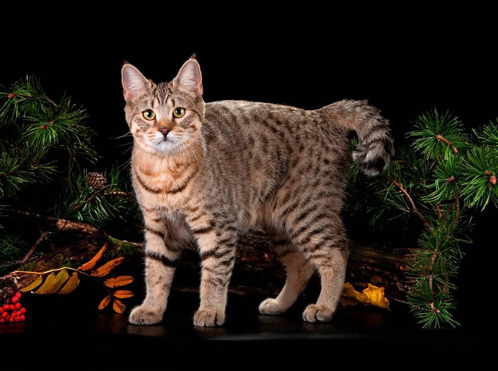Рысь - 84 фото самого северного обитателя из семейства кошачьих