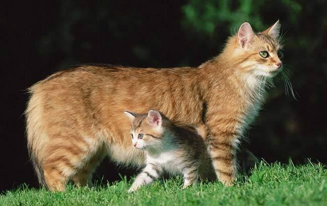 Чем лучше всего кормить шотландскую вислоухую беременную кошку?