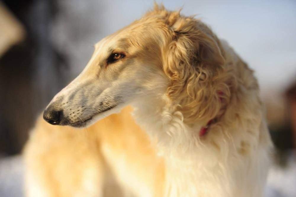 Описание и характеристика породы русская псовая борзая