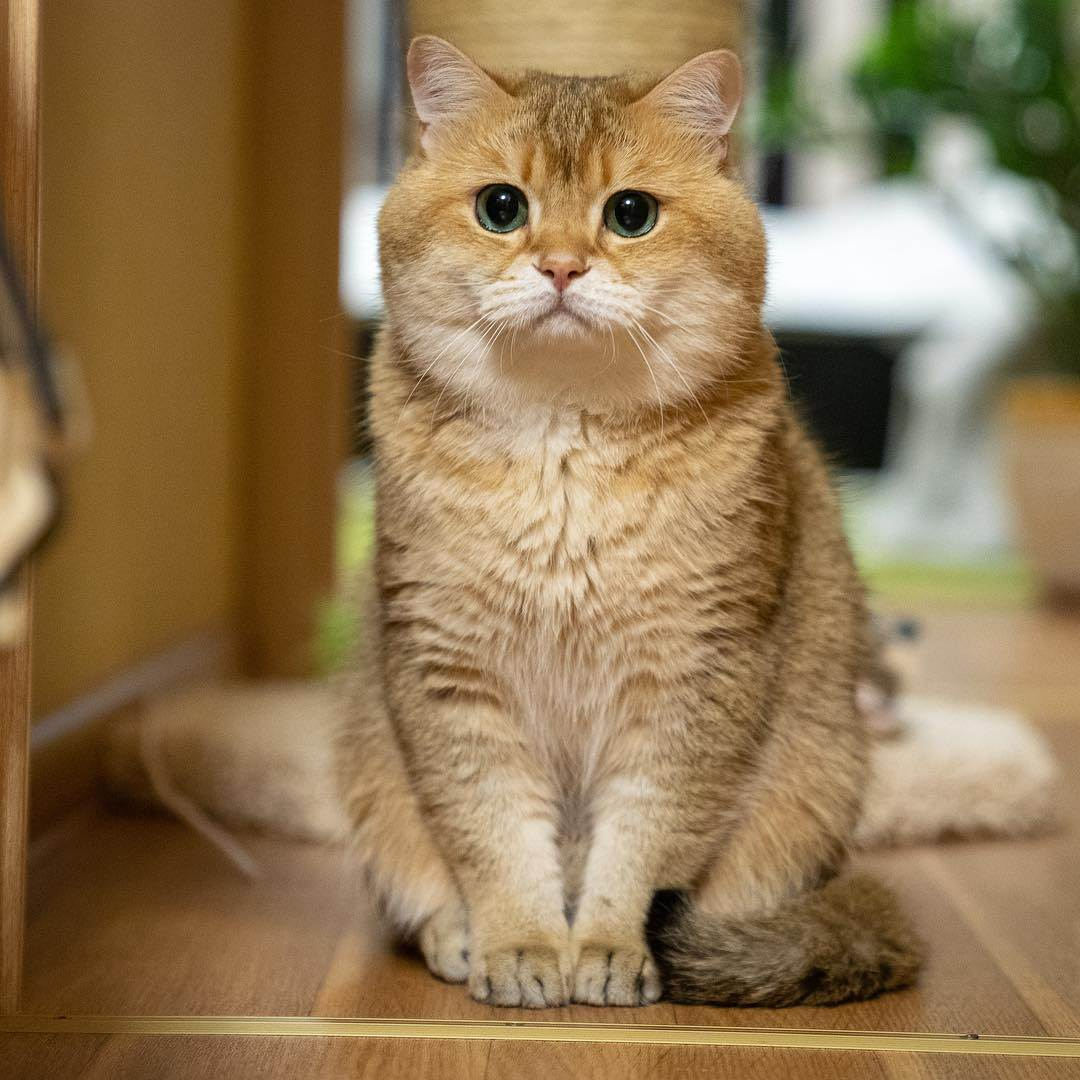 Как часто и чем кормить шотландских котят, выбор типа питания