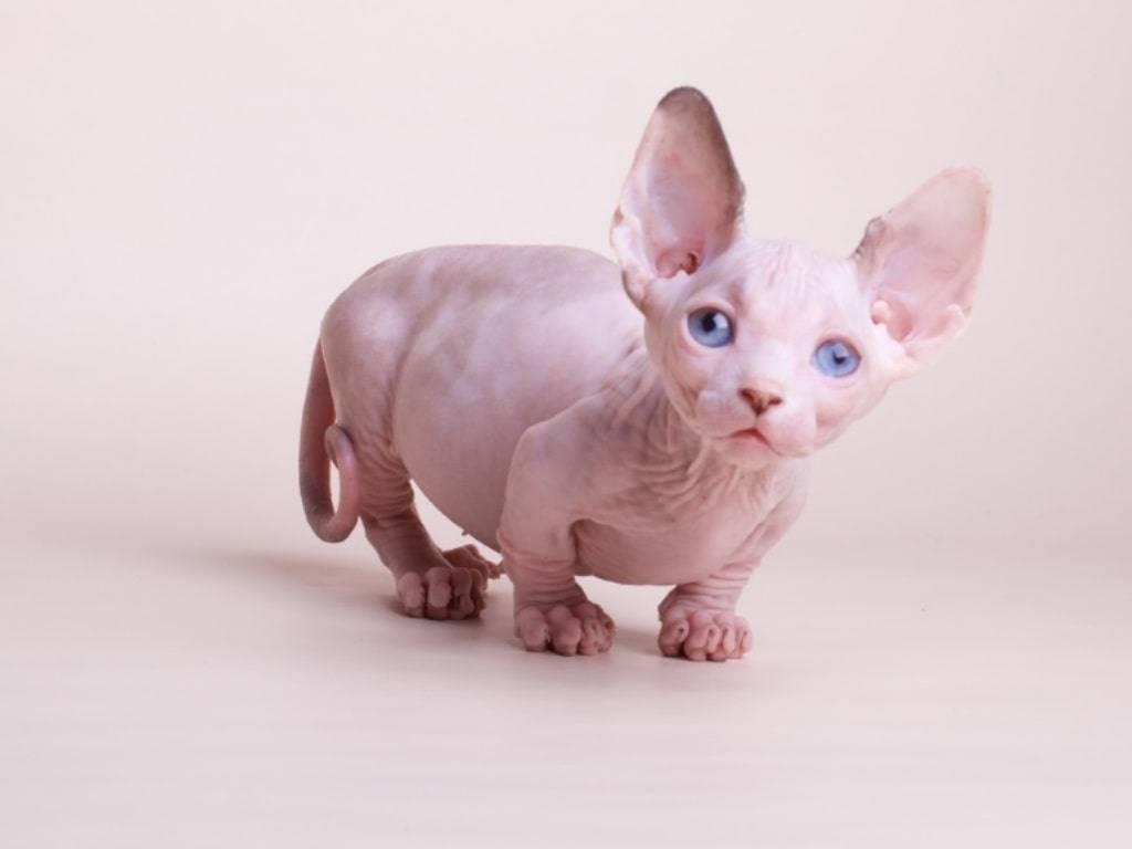 Бамбино - описание породы и характер кошки
