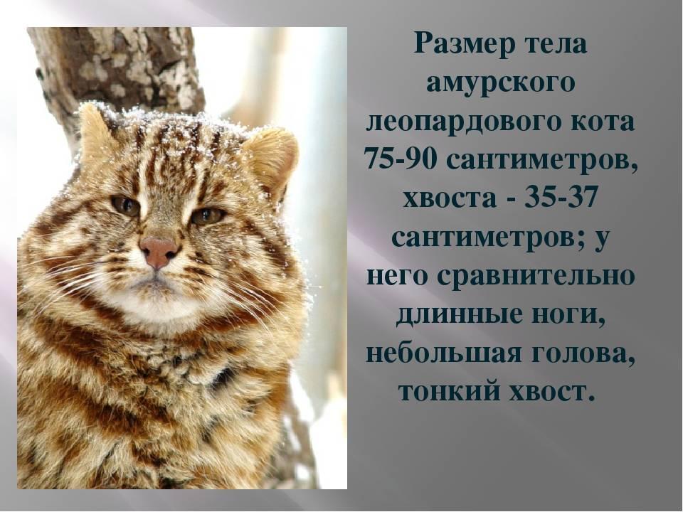Лесные коты: норвежский, кавказский, амурский