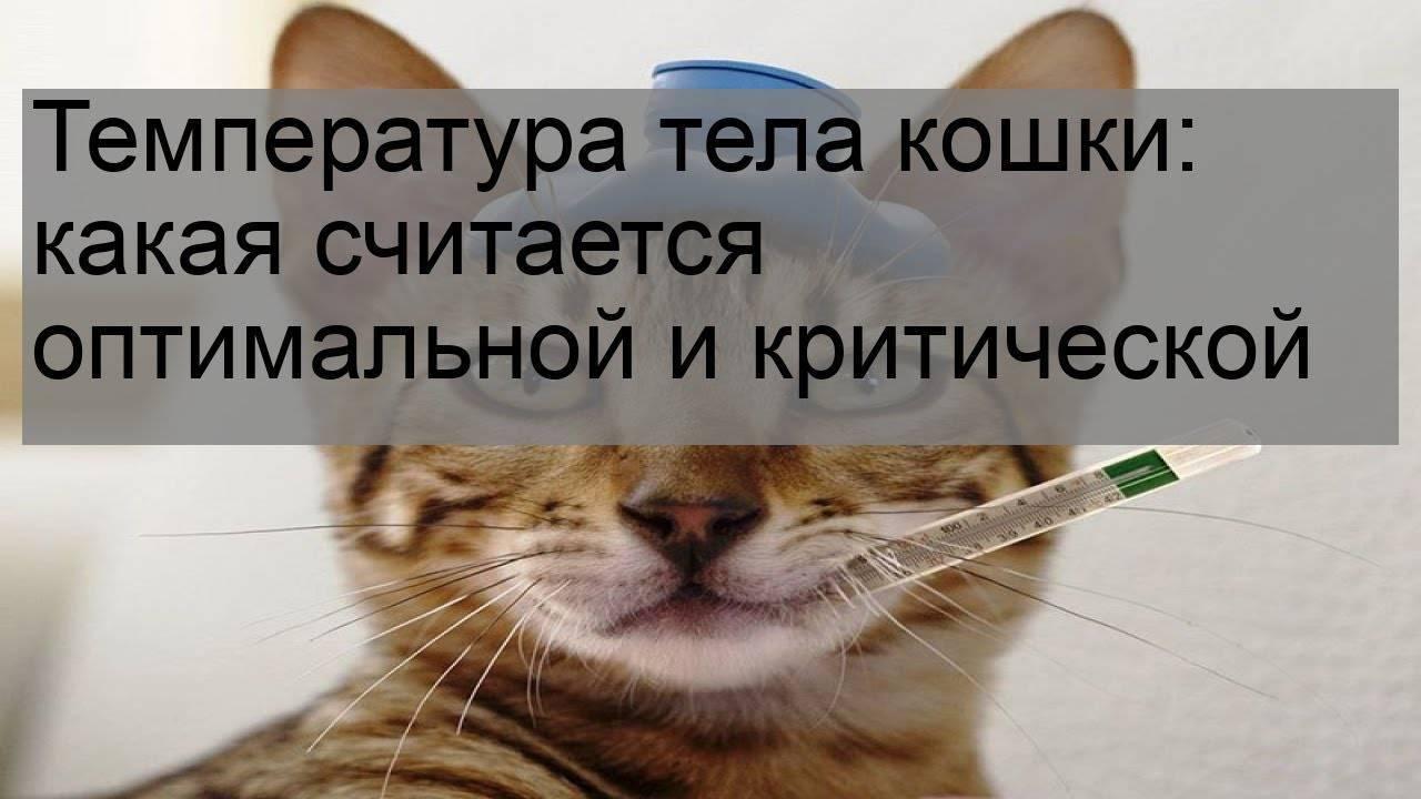 Какой рубеж температуры у кошек считается нормой? основные болезни вызывающие повышение