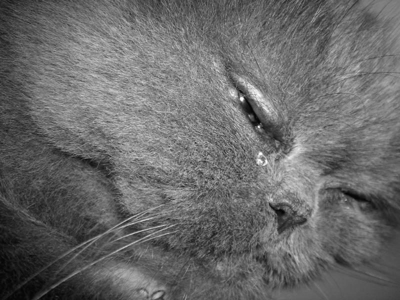Плачут ли кошки: умеют ли и почему?