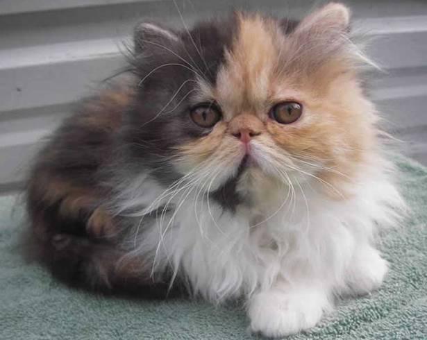 Персидская кошка сколько живет - кошки и собаки