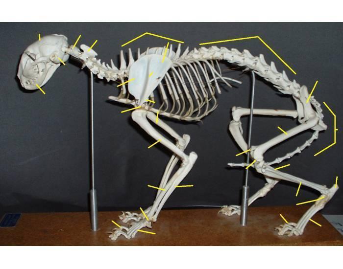 Особенности строения скелета кошек: черепа, лап и туловища