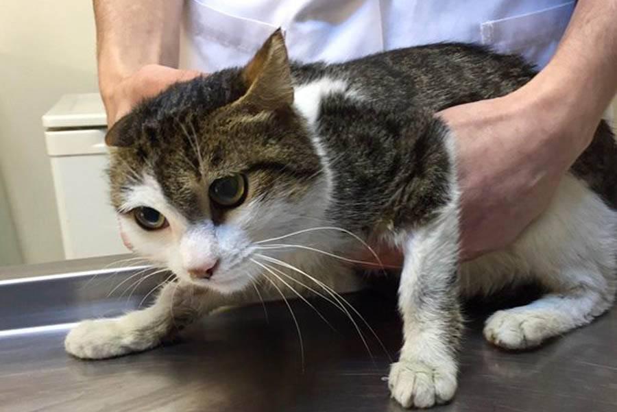 Гемобартонеллез кошек: раскрываем тайны загадочной инфекции