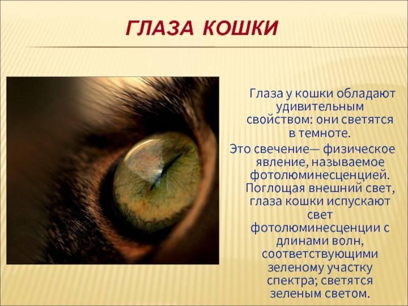 Почему у кошки светятся глаза в темноте, чем обусловлено это явление?