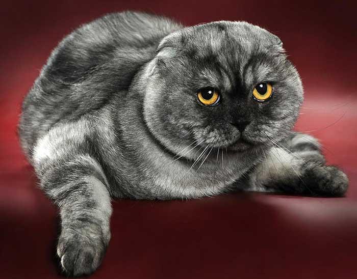 Вторая кошка в доме - питомник шотландских кошек style jasmine г. санкт-петербург