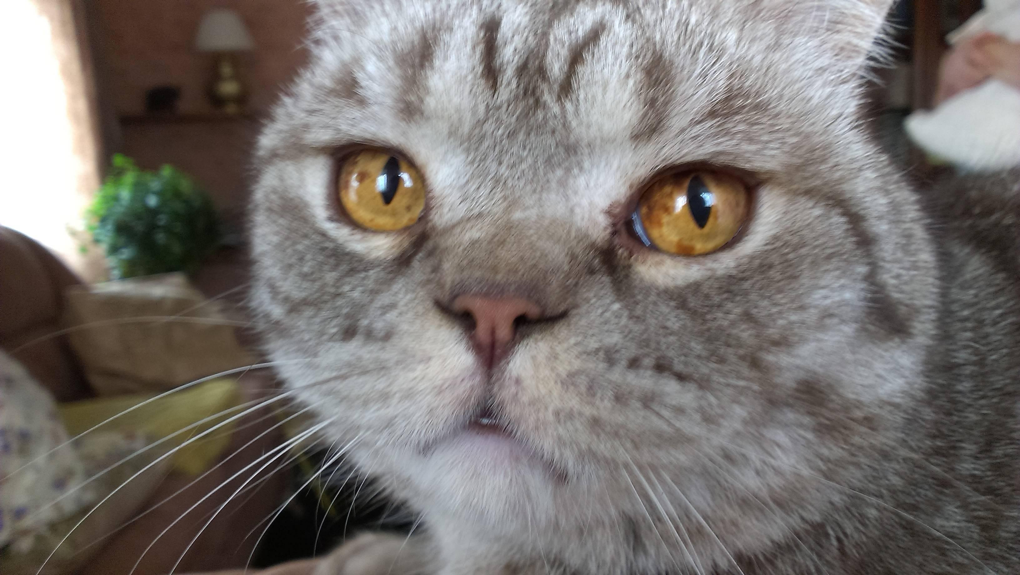 У шотландского котенка слезятся глаза: что делать, причины, лечение