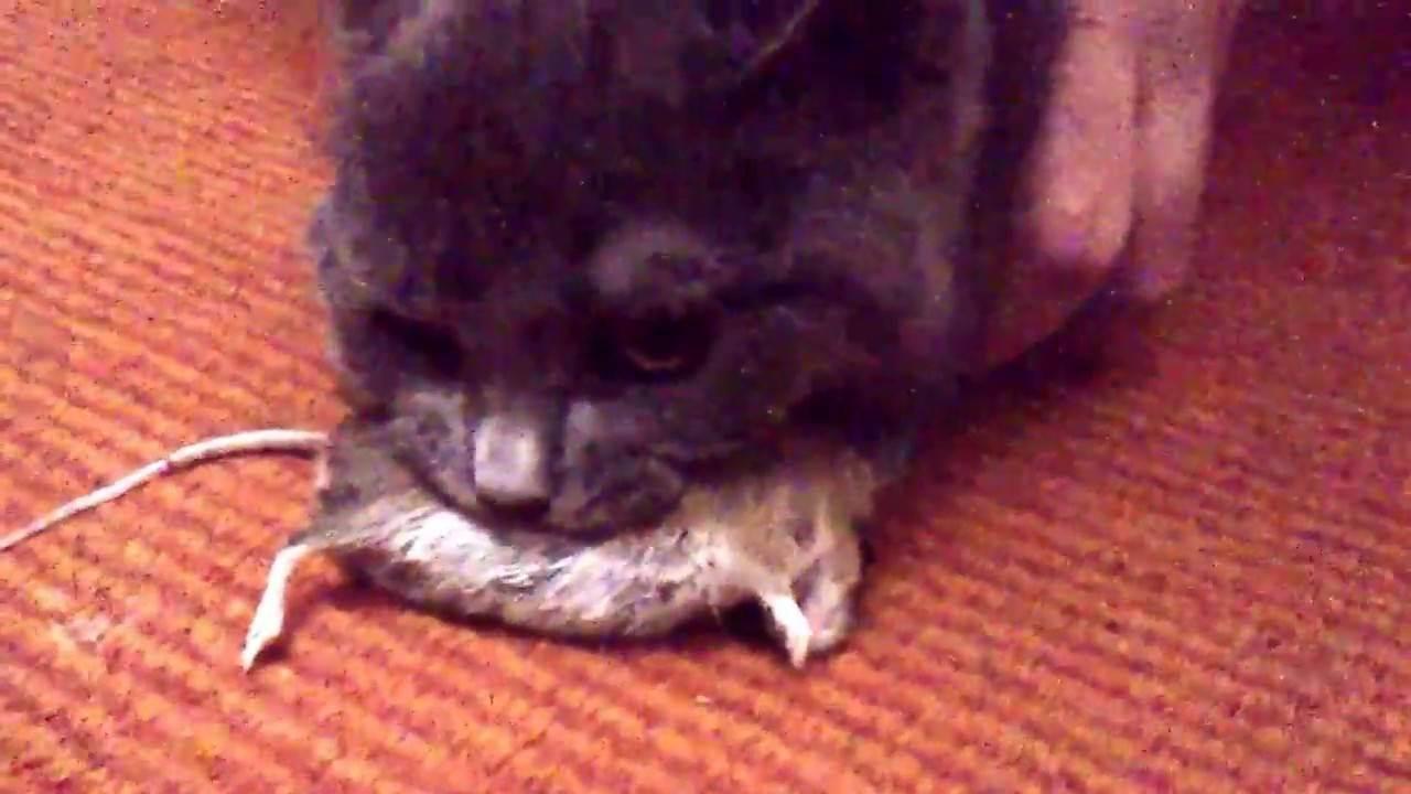 Ловят ли вислоухие кошки мышей?