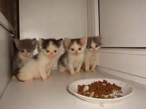 Как научить котенка кушать самостоятельно, когда малыши начинают есть сами из миски?
