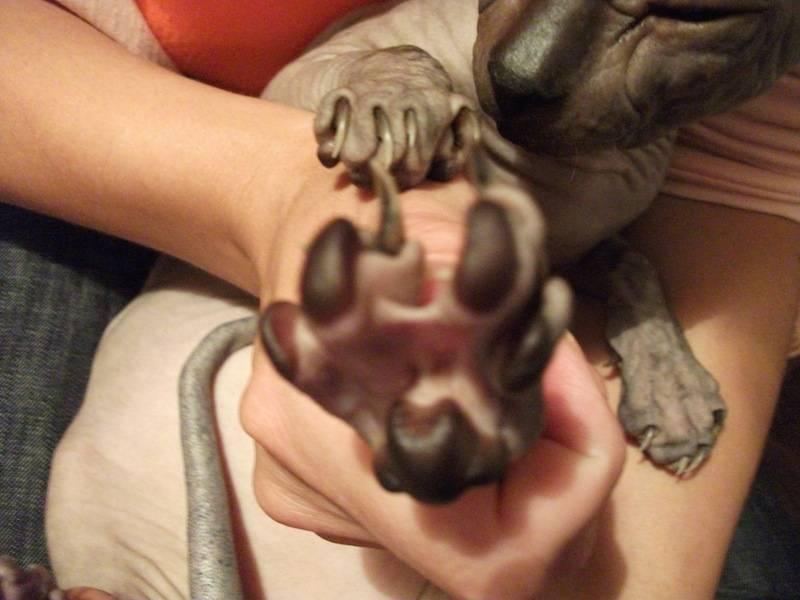 Количество пальцев у кошки