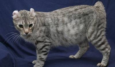Британская длинношерстная кошка: все о кошке, фото, описание породы, характер, цена