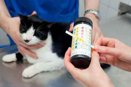 Недержание мочи у кота: причины, лечение, профилактика