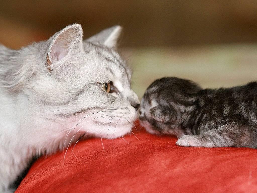 Как подружить взрослого кота с котенком
