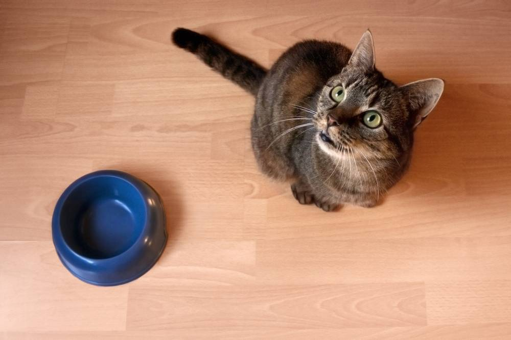 Почему кошки закапывают миску с едой после того как поели: что это значит