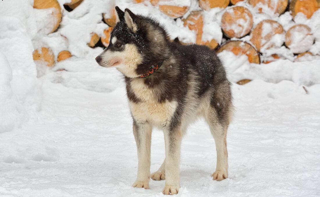Вольфшпиц кеесхонд – фото, описание породы, стандарт, цена щенка
