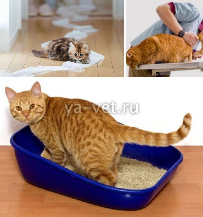 Котенок не писает: что делать, если питомец долго сидит в лотке и не может помочиться