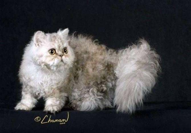 Порода кошек селкирк-рекс: как выглядит, чем кормить, как ухаживать