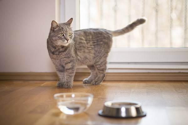 Как приучить британских кошек пить воду
