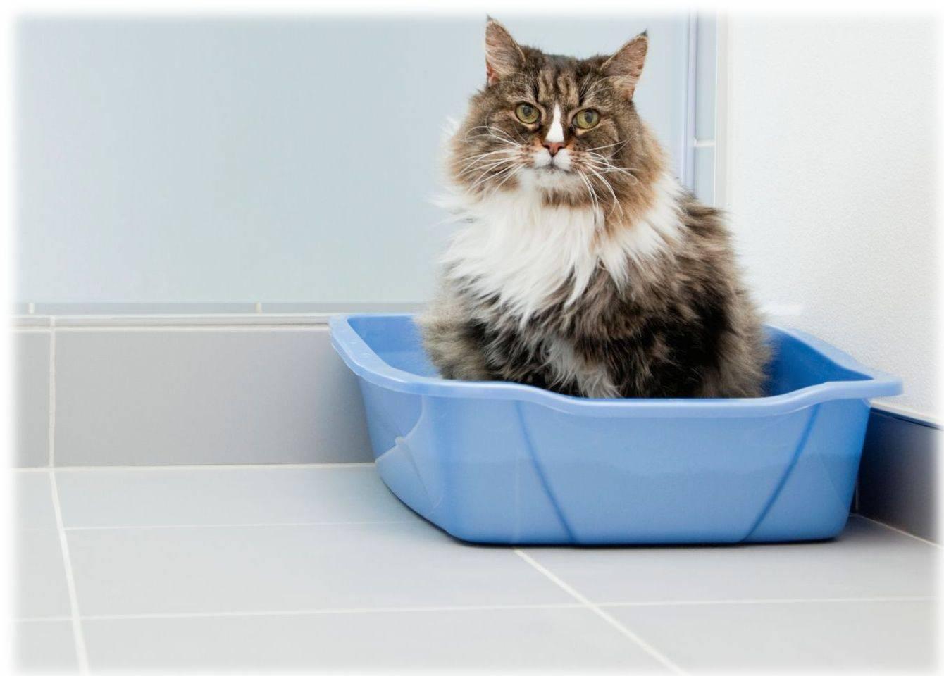 Кошка перестала ходить в лоток: причины и повторное приучение