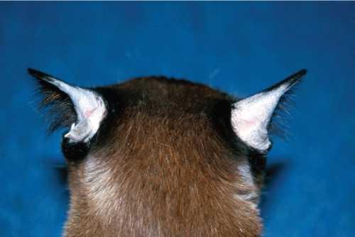 Почему кошка лысеет: 9 причин облысения котов и профилактика