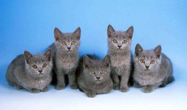 Картезианская кошка (шартрез) - описание породы и характер кошки