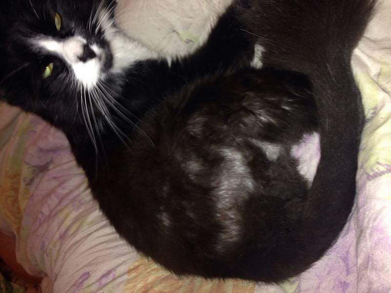 У стерилизованной кошки выпадает шерсть на животе и между задними лапами