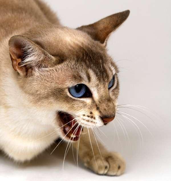 Кошка рычит и шипит – причины, действия