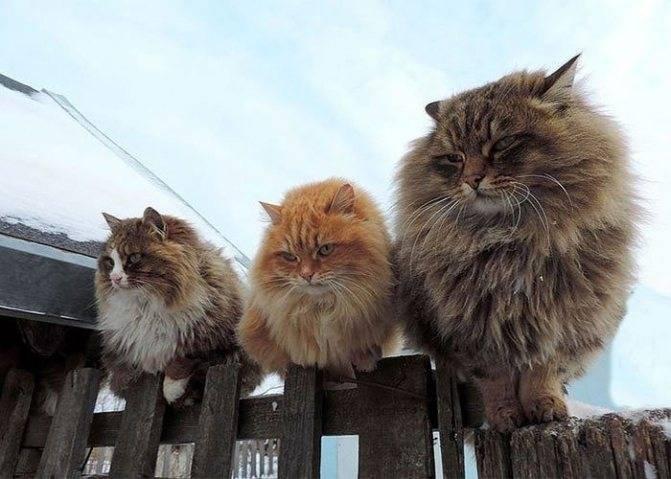 Течка у кошки — как успокоить и сколько длится в первый раз