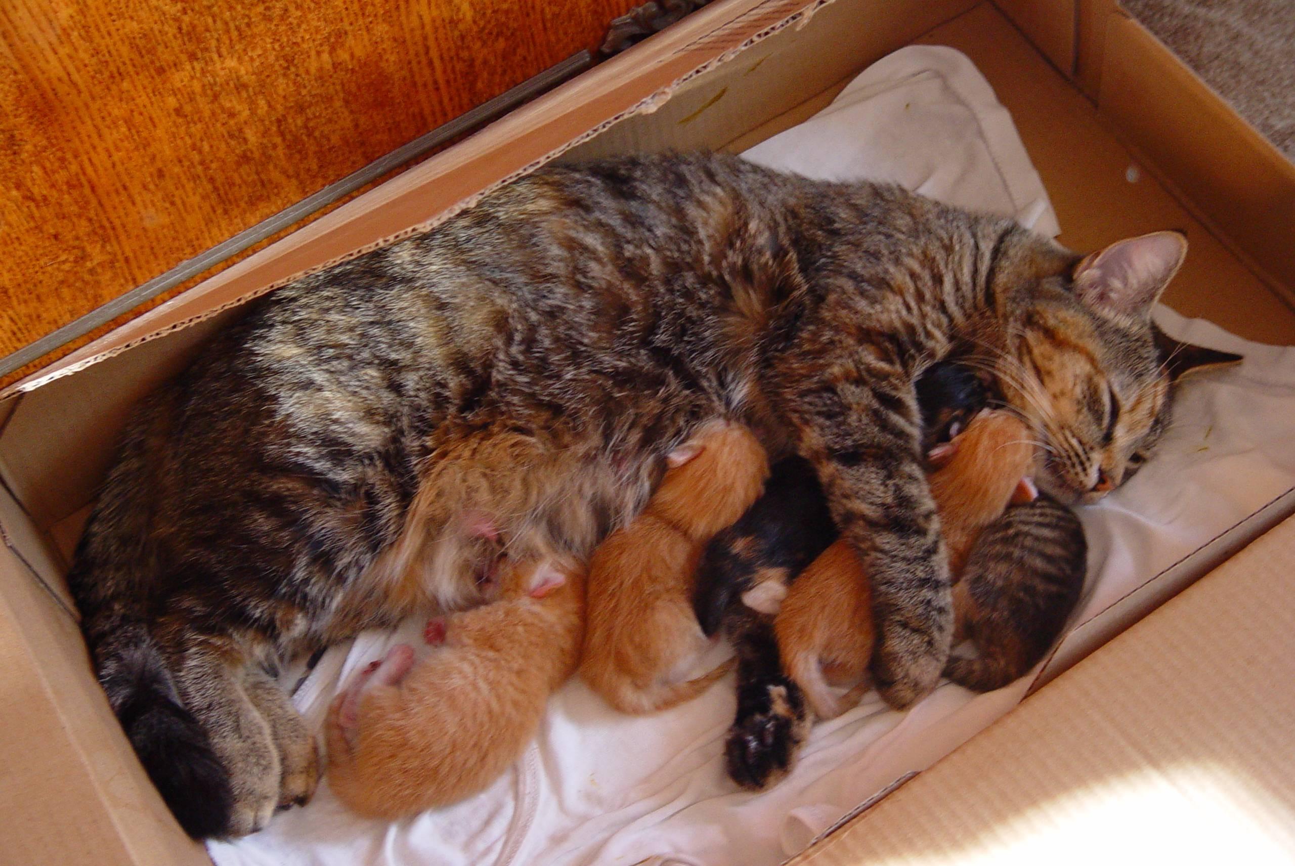 Как рожают кошки в первый раз, что делать хозяину в такой ситуации