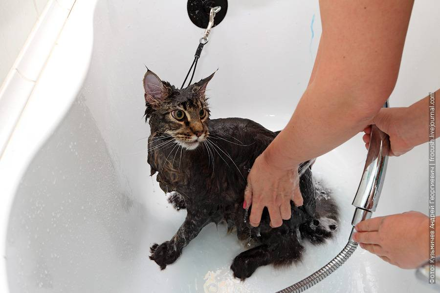 Как часто можно мыть кошку: полезные советы
